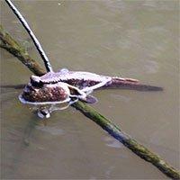 Loài cá bé nhỏ biết leo cây được Cà Mau nghiên cứu bảo tồn và phát triển