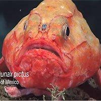 Loài cá có thể nhịn thở 4 phút dưới biển Thái Bình Dương