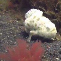Loài cá đi bộ dưới đáy biển Indonesia