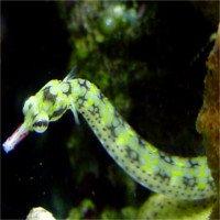 Loài cá độc ác: Cá bố mang thai rồi diệt con