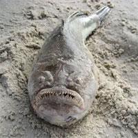 Loài cá kinh dị có răng như người nằm chình ình trên bờ biển Australia