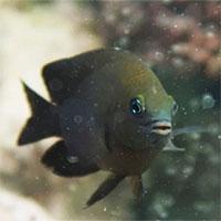Loài cá kỳ lạ biết thuần hóa tôm