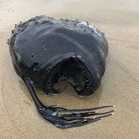 Loài cá kỳ quái dưới biển sâu gần 1.000m dạt vào bờ