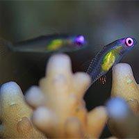 Loài cá nhỏ nhất thế giới