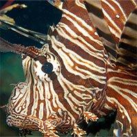 Loài cá sư tử cực độc đang xâm lấn Đại Tây Dương