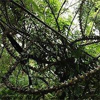 Loài cây hình rồng bay trong rừng rậm với nhiều dây leo phủ gai nhọn hoắt