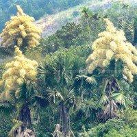 Loài cây kỳ lạ khai hoa chỉ 1 lần tưng bừng rồi chết
