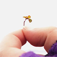 Loài cây thân gỗ nhỏ nhất thế giới
