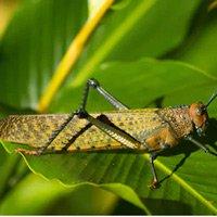 Loài châu chấu nhảy xa gấp 20 lần chiều dài cơ thể