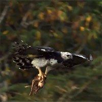 Loài chim ăn thịt có sải cánh hai mét