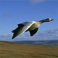 Loài chim bay cao nhất thế giới