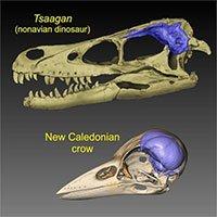 Loài chim đã tiến hóa bộ não lớn như thế nào?