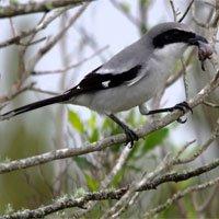 Loài chim dễ thương có sở thích cực kỳ kinh dị: Ghim xác con mồi lên cây gai