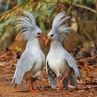 """Loài chim được mệnh danh """"ma rừng"""", có mào """"độc đắc"""""""
