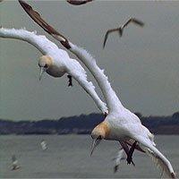 Loài chim hậu đậu khi ở trên cạn lại là bậc thầy săn mồi dưới nước