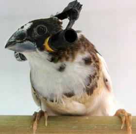 Loài chim học hót như thế nào?