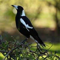 Loại chim làm khổ sở người Australia khi mùa xuân đến