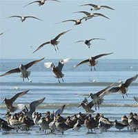 Loài chim lập kỷ lục bay liên tục hơn 12.000km