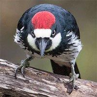 Loài chim này lập liên minh để đánh nhau giành lãnh thổ, hàng xóm bay đến từ khắp nơi để xem trộm