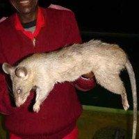 Loài chuột khổng lồ ăn thịt em bé 3 tháng tuổi ở Nam Phi