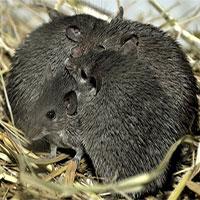 Loài chuột kỳ lạ hay