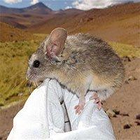 Loài chuột sống trên đỉnh núi lửa cao gần 7000m