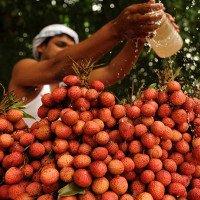 Loại độc tố trong quả vải giết hơn 100 trẻ em Ấn Độ mỗi năm