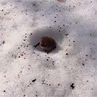 Loài dơi duy nhất ngủ đông dưới tuyết