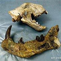 Loài động vật có vú ăn thịt lớn nhất trên đất liền, được mệnh danh là
