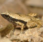 Loài ếch nghe bằng miệng