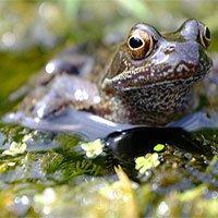 Loài ếch sẽ tuyệt chủng vì bị thuốc trừ sâu làm