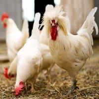 Loài gà có tính cách riêng, suy luận logic giỏi hơn cả trẻ em