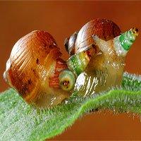 Loài giun ký sinh biến ốc sên thành