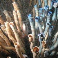 Loài giun ống kỳ lạ này có thể là động vật sống lâu nhất trên thế giới