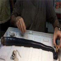 Loài hà khổng lồ dài 1,5 mét khiến nhà khoa học sợ hãi
