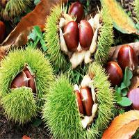 """Loại hạt được coi là """"quả nhân sâm"""" có tác dụng ngừa ung thư, rất phổ biến vào mùa đông"""