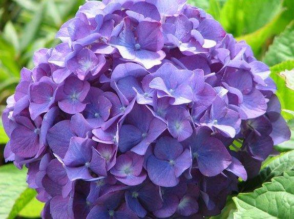 Loài hoa đẹp chữa được bệnh sốt rét