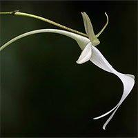 Loài hoa hiếm bậc nhất thế giới từng khiến Darwin mất cả đời cũng không lý giải được