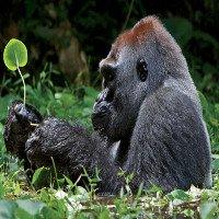 Loài khỉ đột lớn nhất thế giới đứng bên bờ tuyệt chủng