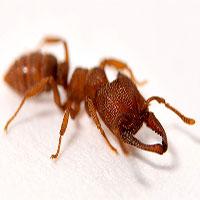 Loài kiến có bộ hàm