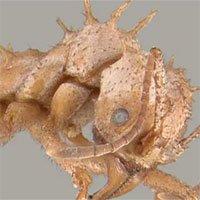 Loài kiến kỳ lạ có lớp