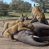 Loài mèo răng khỉ cổ đại ăn thịt voi ma mút non
