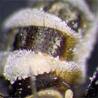 Loài nấm biến ruồi thành nô lệ, đặt xác ruồi ở chỗ thông thoáng để bắn bào tử lên những kẻ lại gần