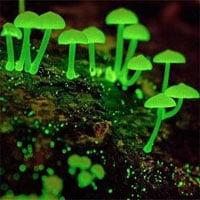 Loài nấm phát quang ngỡ như trong phim nhưng lại có thực ở Việt Nam