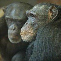 Loài người tiến hóa để tiết kiệm nước hơn các loài linh trưởng