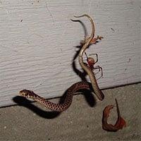 Loài nhện ăn thịt rắn phân bố khắp các lục địa