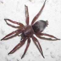 Loài nhện có thể phóng tơ vô hiệu hóa con mồi