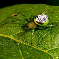 Loài nhện hiếm lạ với bờ mông y hệt người ngoài hành tinh
