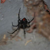 Loài nhện kịch độc