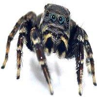 Loài nhện mới giống hệt huyền thoại thời trang Karl Lagerfeld